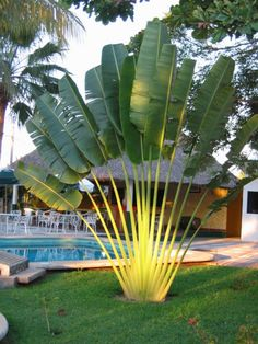 Cheap cycas seeds, Buy Quality tree seeds directly from China palm seeds Suppliers: Perennial Plant Palm Seeds Tropical Cycas Seed * Garden Rare Tree Seeds 2016 Rare Canna Palm Plants Flower Sementes Tropical Backyard Landscaping, Palm Trees Landscaping, Tropical Garden Design, Front Yard Landscaping, Tropical Plants, Exotic Plants, Tropical Gardens, Garden Trees, Garden Pots