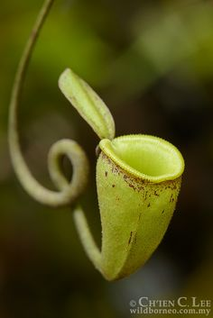 Nepenthes ampullaria. Unlike most <i>Nepenthes</i> species, upper...