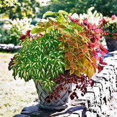 Coleus Plants: Varieties, Care & Growing Them - This Old House Coleus Care, Potted Plants, Indoor Plants, Endless Summer Hydrangea, White Flower Farm, Flower Pots, Flowers, Yellow Leaves, Potting Soil