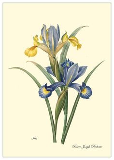 Iris Redoute