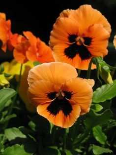 "Wonderful Screen orange Pansies Popular Pansies include the multi-colored roses with ""faces."" Some sort of cool-weather favourite, pansies are p All Flowers, Orange Flowers, Amazing Flowers, Beautiful Flowers, Exotic Flowers, Yellow Roses, Pink Roses, Hardy Plants, Flower Pictures"