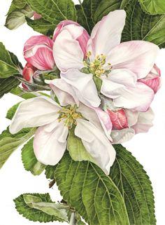 Apple Blossom 'James Grieve'