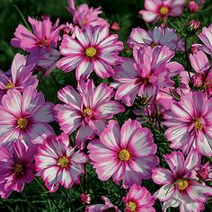 An Award Winning Garden Cosmos Mexican Aster From Open Pollinated Seed Park