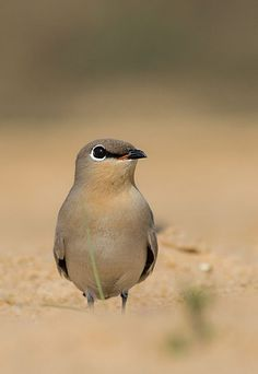 The Small Pratincole is most active at twilight where they form large foraging flocks, these flocks catch insects on the wing, performing zig-zag flights much like swallows. Photo by Souvik Pal