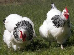 chickens | here are some beautiful Light Sussex hens, image from http://www ...