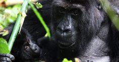 Com uma população de cerca de 300 membros, que vivem em Uganda e na República do Congo, os gorilas-das-montanhas adultos estão ameaçados pela perda de habitat e pela caça, além de terem sido vitimados nas décadas recentes por conflitos armados entre humanos.   Fotografia: Jonny Hogg/Reuters.