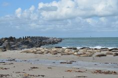Sea lions on Düne, a small island off Helgoland in the German North Sea