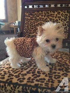 Yorkie in leopard print camo.