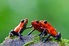 Strawberry Poison-Frog (Oophaga pumilio)
