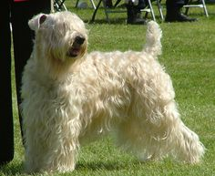#labrador The Soft Coated Wheaten Terriers can adapt to just about any kind of home, city or country, apartment or suburban house.