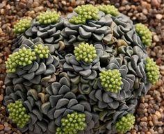 crassula mesembryanthemopsis