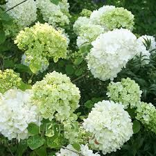 Image result for viburnum