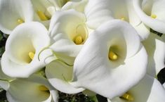 white calla lily flowers Calla Lily Bridal Bouquet, Calla Lily Flowers, Calla Lillies, Sugar Flowers, Wedding Bouquets, Most Beautiful Flowers, Unique Flowers, Types Of White Flowers, Green Flowers