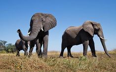 Botswana's Changing Lands: Elephants Not to Blame Nature Research, South Africa Safari, Wild Elephant, Elephant Sanctuary, Game Reserve, African Elephant, Animal Photography, Habitats, Wildlife