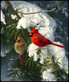 Cardinals - so beautiful, live to see cardinals in the winter....