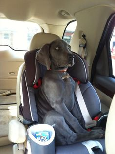 "weims... sweet crazy idiots ❤❤❤. My weim rides in the car seat, too. We say she thinks she is a ""people"""
