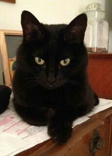 I want to have a black cat someday I Love Cats, Crazy Cats, Cool Cats, Kittens Cutest, Cats And Kittens, Black Cat Aesthetic, Groucho Marx, Gatos Cats, Photo Chat