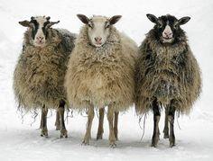 foto van 3 schapen