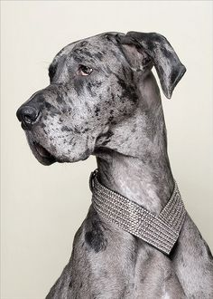 MERLE GREAT DANE, OH HOW I ADORE THEE. MY FIRST GREAT DANE WAS  REGAL AND PICTURESQUE AS YOU MY DARLING. ♡IAMSHESAWTHESUN♡, A.K.A., SUNNY LOVE