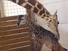 """April gave birth to a healthy male calf Saturday at the privately-owned Animal Adventure Park before an online audience of more than a million viewers. """"Giraffes give birth standing up, which means when the calf is ready to be born, it exits its mother hooves first from six feet off the floor, making for a very exciting event,"""" he said in a news release. A Farmington, New Hampshire, songwriter even posted a music video on YouTube called, """"I'm Going Crazy Waiting (For A Giraffe)."""" The new…"""