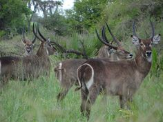 The Ellipsen #Waterbuck is quite obviously called because of the circle around their behind. in #Saadani they are found almost everywhere and also in big herds