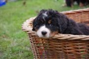 Rosi_Welpe_1 Bell Rose, Jingle Bells, Dogs, Animals, Bernese Mountain Dogs, Puppys, Doggies, Animais, Animales