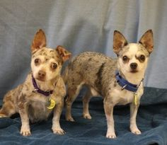 ADOPT-Mr. and Mrs. Jones are Chihuahua mixes at Naperville Area Humane Society. They were originally from a puppy mill so they are said to be nervous, but I don't see it! My friend & I walked them they warmed up to us right away and were happy to spend time out of their kennel. Click on the picture to watch a video of them, read a description, and find out adoption information. They are 4 years old in Naperville, Illinois. #adoptdontshop #chihuhua #mrjones #mrsjones #naperville #humane…