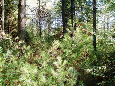 White Pine regenation
