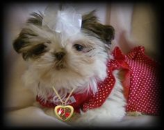 Google Image Result for http://www.sweettoothshihtzu.com/Puppy1.jpg