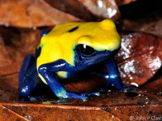 DYEING POISON FROG by John Clare. The scientific name is Dendrobates  tinctorius. And this 06355f6496db