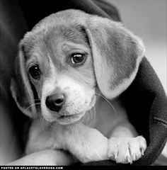 aplacetolovedogs:    The sweet preciousness of a baby Beagle  For more cute dogs and puppies