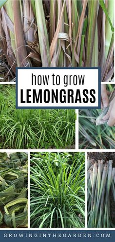 May Garden, Herb Garden, Gardening For Beginners, Gardening Tips, Flower Gardening, Grow Lemongrass, Growing Herbs, How To Grow Herbs, Self Watering Containers