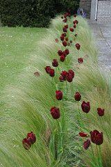 Stipa Tenuissima and Black Tulips | by jaythegardener