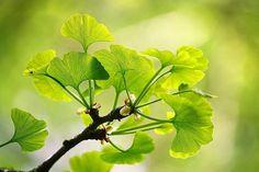 Veja quais são as plantas que melhoram a circulação sanguínea, tem efeito diurético e antioxidante. Elas podem ser ótimas coadjuvantes no seu tratamento!