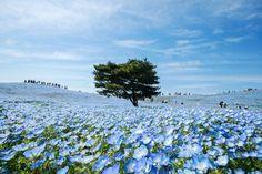 Hitachi Seaside Park  Читать больше:https://turism.boltai.com/topics/tsvetenie-nemofil-v-yaponskom-parke-privlekayushhij-tolpy-turistov/