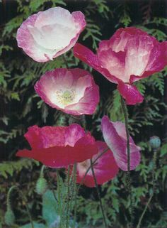 Poppies French Nursery, Icelandic Poppies, Flanders Field, Nursery Rhymes, Stems, Wild Flowers, Poppy, Beautiful Flowers, Outdoor Living