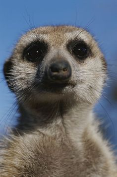National Geographic: A close view of a meerkat