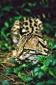 ☀Female Ocelot (Felis pardalis)  by David Davis Photoproductions