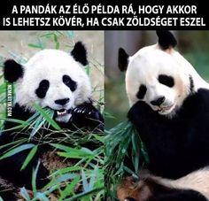 A pandák az élő példa...