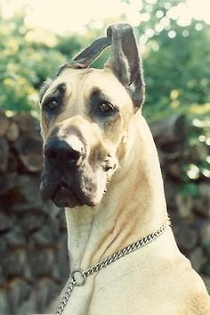 Our Abigail ( Abi ) Great Dane, best well behaved and calmest dog ever. We miss her tremendously.