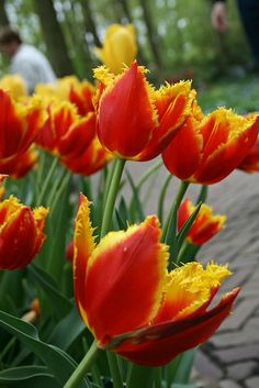 Red Tulips with Yellow Fringe