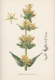 Vintage Botanical Print Gentiana lutea Great by AntiquePrintGarden