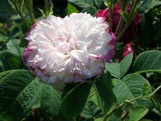 """Damask Rose """"Leda"""" by lelyha, via Flickr"""