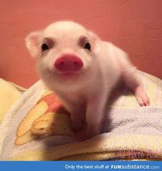 Isn't this the cutest little piglet? Cute Animal Pictures: 150 Of The Cutest Animals! Cute Baby Pigs, Cute Piglets, Cute Babies, Baby Piglets, Animals And Pets, Funny Animals, Nature Animals, Farm Animals, Funny Animal Pictures
