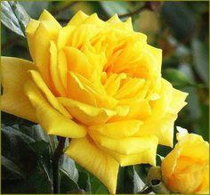 yellow rose...always was moms favorite flower
