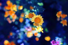 Chrysanthemum by Mars-Hill on DeviantArt