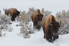 Buffalo or bison Wildlife Paintings, Animal Paintings, Masculine Art, Lamar Valley, American Bison, Animal Tracks, Yellowstone Park, Exotic Shorthair, Draw On Photos