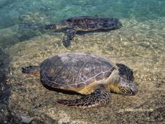 Green Sea Turtles in Hawaii ~ photo by B N Sullivan for TheRightBlue.com