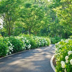 """""""lower and upper garden are bordered by Annabelle Hydrangeas and Zelkovas planted""""  """"The ha-ha wall backed by Annabelle Hydrangeas conceals the driveway from sight""""  """"the Zelkovas.They are planted between the hydrangeas and act as a first buffer to""""  """"surrounded by Hydrangeas, Skip Laurels, Clethra & Purple Coneflower.The garden's back"""""""