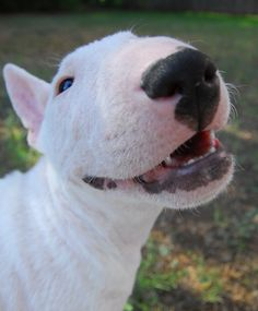 Tugg the bull terrier. I love him and his owners. I wish all dogs, were as lucky as him.
